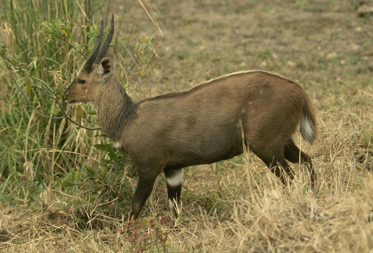 Solo bushbuck