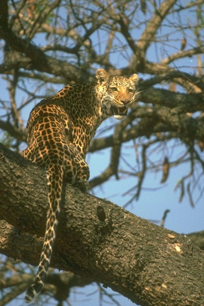 leopard-7-051515