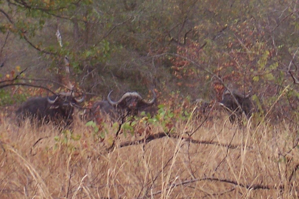 zimbabweleopardbuffhuntforever051314
